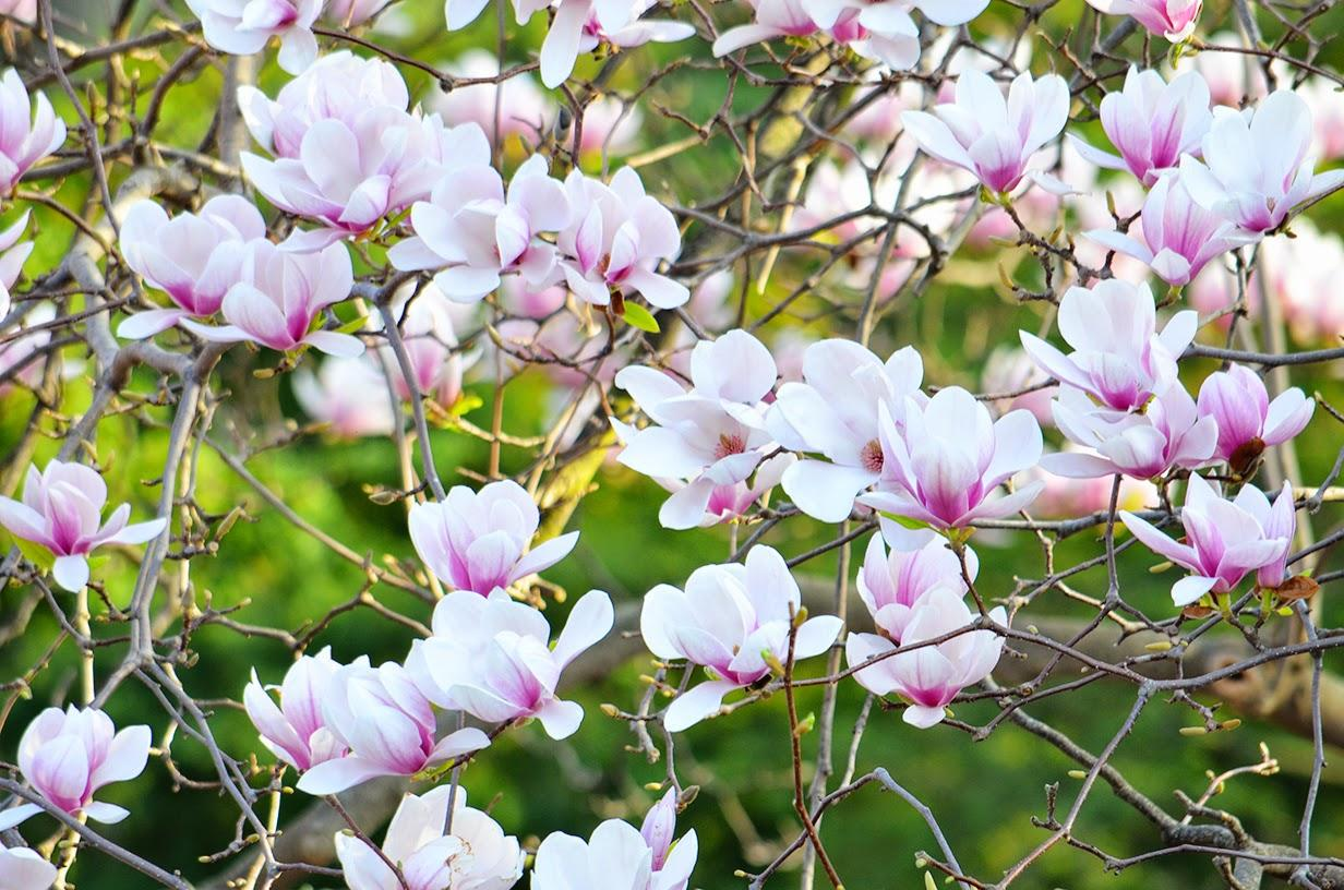 spring, bloom, magnolia